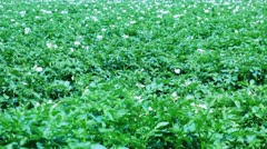Potato field with flowers - stock footage