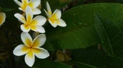 White frangipani Stock Footage