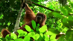 Wild orangutan. Sumatra. Indonesia Stock Footage