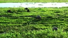 wild capybara. Venezuela - stock footage