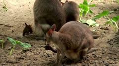 Mom and baby kangaroo - stock footage