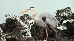 Great Blue Heron. Stock Footage