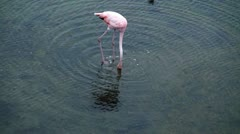 Wild pink flamingo Stock Footage