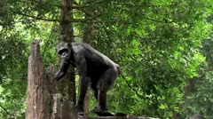 Black chimpanzee ( Bonobo) Stock Footage