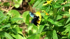 Black bumblebee Stock Footage