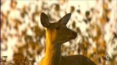 Wild deer - stock footage