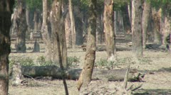 Spotted Deer Forage in the Forest Stock Footage