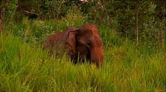 An elephant in the jungles of Sri-Lanka Stock Footage
