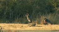 Two African Storks stand in the Grass Stock Footage