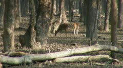 Spotted Deer Stock Footage