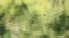 swamp 10 water strider - stock footage