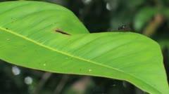 Little Ant on Leaf Stock Footage