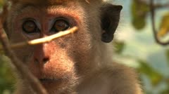 Muzzle macaque nervously look around Stock Footage