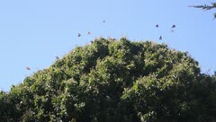 Monarch butterflies - HD Stock Footage