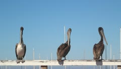 Pelicans V3 - HD Stock Footage
