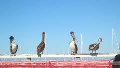 Pelicans V2 - HD - stock footage