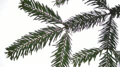 Branch of fir tree Stock Footage
