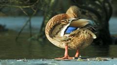 Mallard female bird Stock Footage