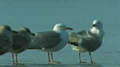 Lesser black-backed Gull Stock Footage
