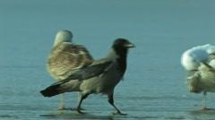 Crow bird Stock Footage