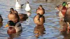 Mallard ducks  in water Stock Footage