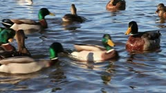 Mallard ducks feeding Stock Footage