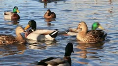 Mallard ducks feeding in water Stock Footage