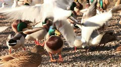 Mallard ducks and black-headed gulls in Winter Stock Footage