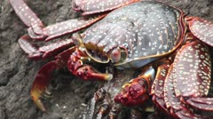 Galapagos Red Crab on a rock Stock Footage