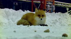 Wild fox in a residential campus Stock Footage