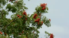 Autumn rowan branches with red berries Stock Footage