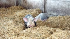 Pigs in the straw Stock Footage