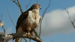 Red-tailed Hawk - stock footage