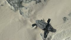newborn sea turtles crawl to the sea - stock footage