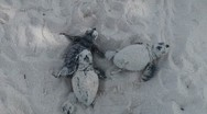 Stock Video Footage of newborn sea turtles crawl to the sea