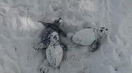 Newborn sea turtles crawl to the sea Stock Footage