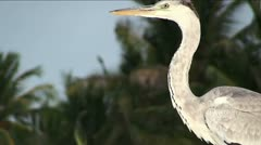 Grey heron at the sea, Maldives Stock Footage
