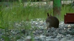 Wild rabbit on a construction site Stock Footage