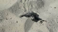 Newborn sea turtles crawl to the sea Stock Footage