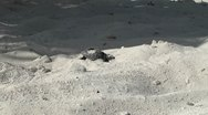 Stock Video Footage of newborn turtles baby swim in the sea