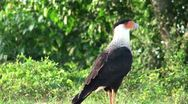 Stock Video Footage of Walking bird. Red-throated Caracara in search of carrion.