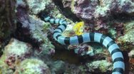 Stock Video Footage of Banded sea snake hunting for food