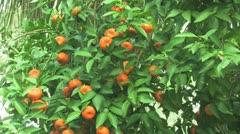 Citrus Tree Stock Footage