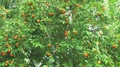 Tangerine Tree Stock Footage