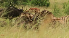 African Safari Animals in Grass Slomo GFSHD Stock Footage