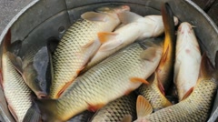Freshwater Fish, Carp Stock Footage