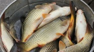 Stock Video Footage of Freshwater Fish, Carp
