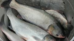 Freshwater Fish, Bighead Carp Stock Footage