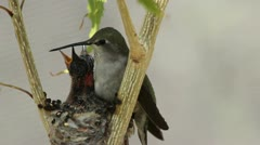 Hungry Hummingbird Babies Stock Footage