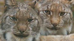 Lynx Stock Footage